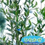 オリーブ 苗木ひなかぜ 3年生 鉢植え 苗 オリーブの木