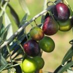 オリーブの木 ルッカ 2年生苗 オリーブ 苗 鉢植え 苗木