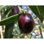 小豆島産  オリーブの木 ネバディエロブロンコ 3年生大苗  オリーブ 苗 苗木 特別