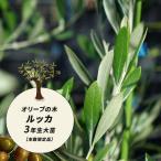 小豆島産  オリーブの木  ルッカ 3年生大苗  オリーブ 苗 特別