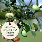 オリーブの木 シプレシーノ 2年生苗