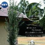 掘り出しもの The Kobokuオリーブの木シプレシーノ 2m 特大苗 西濃運輸お届け (北海道、沖縄、離島不可)