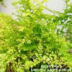斑入りプリペット レモンライムアンドクリッパーズ H0.3m苗木