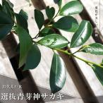選抜青芽神榊(ホンサカキ) 根巻き苗