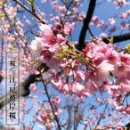 桜 苗木 さくら 江戸彼岸桜 (えどひがんざくら) 1年生 接ぎ木 苗 サクラ
