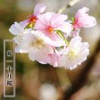 桜 苗木 さくら 冬に咲く桜 十月桜 (じゅうがつざくら)1年生 接ぎ木 苗 サクラ