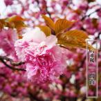 桜 苗木 さくら 八重桜 関山 ( かんざん せきやま ) 1年生 接ぎ木 苗 サクラ