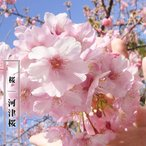 桜 苗木 さくら 河津桜 (かわづざくら) 1年生 接ぎ木 苗 サクラ