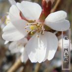 桜 苗木 さくら 冬に咲く桜 四季桜 (しきざくら) 1年生 接ぎ木 苗 サクラ