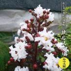 ハナヒロバリュー サルスベリ カラス葉 3.5号ポット苗