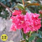 ハナヒロバリュー サルスベリ 矯性赤花 3.5号ポット苗