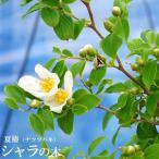夏椿(ナツツバキ)シャラノキ (シャラの木) ポット苗  観賞花木