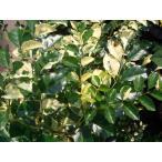 シマトネリコ 斑入り ホワイトドロップ ポット苗