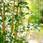掘り出しものシマトネリコ 株立ち 地中ポット大苗 特価品 鉢植えでも使える 極上 株立ち苗 (西濃運輸お届け) (北海道、沖縄、離島不可)
