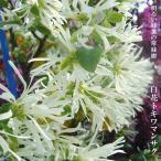 白花トキワマンサクH0.2m ポット苗