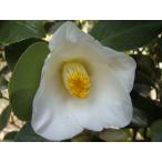 椿(つばき) 白ヤブツバキ  根巻き苗