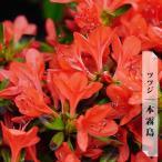 サツキツツジ 本霧島 (本キリシマ) 4号ポット苗 つつじ