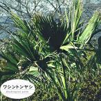 特大ヤシ ワシントンヤシ 2m ヤシの木 大型 観葉植物 西濃運輸お届け北海道・沖縄・離島不可