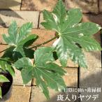 斑入りヤツデ紬絞り (つむぎしぼり)ポット苗 常緑樹 観葉植物
