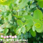 ユーカリの木 グニーユーカリ(サイダーガム)3号ポット苗