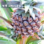 沖縄産パイナップル スナックパイン ポット苗 パインアップル 苗 果樹 熱帯果樹 予約販売2017年7月中旬頃お届け予定