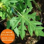 沖縄産パパイヤ ベニテング ポット苗 パパイヤ 苗 果樹 熱帯果樹 予約販売2017年7月中旬頃お届け予定