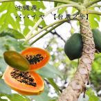 沖縄産パパイヤ 台農2号 ポット苗 パパイヤ 苗 果樹 熱帯果樹 予約販売2017年7月中旬頃お届け予定