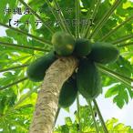 沖縄産パパイヤ オキテング25号 ポット苗 パパイヤ 苗 果樹 熱帯果樹 予約販売2017年7月中旬頃お届け予定