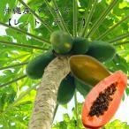 沖縄産パパイヤ レッドレディー ポット苗 パパイヤ 苗 果樹 熱帯果樹 予約販売2017年7月中旬頃お届け予定