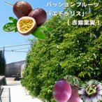 パッションフルーツ 苗 「エドゥリス」 ( 赤紫果実 ) ポット 苗 果樹 果樹苗 トケイソウ 緑のカーテン