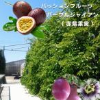 パッションフルーツ 苗 「パープルジャイアント」 ( 赤紫果実 ) ポット 苗 果樹 果樹苗 トケイソウ