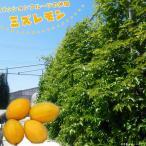 パッションフルーツの仲間 ミズレモン ポット 苗 果樹 果樹苗 トケイソウ 緑のカーテン