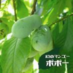 ポポー 苗木 マンゴー 1年生 接ぎ木 苗 果樹 果樹