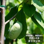 ポポー 苗 ポトマック 2年生 接ぎ木 苗 果樹 果樹