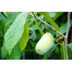 ポポー 苗 ワバッシュ 2年生 接ぎ木 苗 果樹 果樹