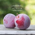 スモモ(プラム)苗木 サンタローザ 1年生 接ぎ木苗 果樹 すもも