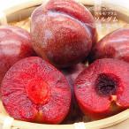 スモモ(プラム)苗木 ソルダム 1年生 接ぎ木苗 果樹 すもも 予約販売12月頃入荷予定