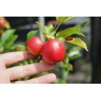 りんご 苗木 姫リンゴ アルプス乙女 1年生 接ぎ木 苗 果樹 果樹