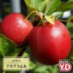 りんご 苗木 姫リンゴ YDアルプス乙女 1年生 接ぎ木 苗 果樹 果樹
