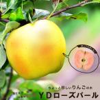 りんご 苗木 YDローズパール 1年生 わい性台木 接ぎ木 苗