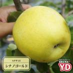 りんご 苗木 YDシナノゴールド 1年生 わい性台木 接ぎ木 苗