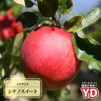 リンゴ YDシナノスイート 2年生苗 ワイ性台木接ぎ木苗 ルートポーチ植え 予約販売10月頃入荷予定