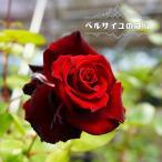 【バラ苗】 ベルサイユのばら (メイアン) 大苗 木立バラ 赤色 京成 バラ 苗 四季咲き 木立 バラ苗木
