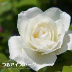 【バラ苗】 つるアイスバーグ 大苗  つるバラ 白色 強健 バラ 苗 つる性 つるばら 初心者に超おすすめ
