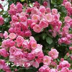 バラ苗 アンジェラ 大苗 つるバラ 四季咲き ピンク 強健 バラ 苗 つるばら