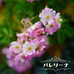バラ苗 バレリーナ 3年生特大苗 つるバラ 修景バラ 四季咲き ピンク バラ 苗 つるばら バラ苗木