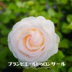バラ苗 ブランピエールドゥロンサール 大苗 つるバラ 白色 バラ 苗 ダマスク系