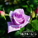 バラ苗 つるブルームーン 大苗 つるバラ 青紫色 強香 バラ 苗 つるばら ブルー系 フルーツ系