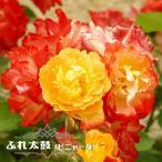 【バラ苗】 ふれ太鼓 (ピニャータ) 大苗 つるバラ 強健 四季咲き バラ 苗 つるばら