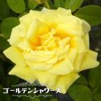 バラ苗 ゴールデンシャワーズ 大苗 つるバラ トゲが少ない 四季咲き 黄色 バラ 苗 つるばら ローズヒップ